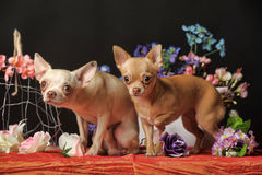 Two Chihuahuas and flowers in the studio Stock Photo
