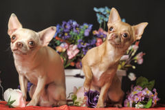 Two Chihuahuas and flowers in the studio Royalty Free Stock Image