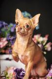 Two Chihuahuas and flowers in the studio Royalty Free Stock Photo