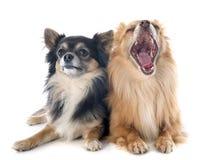 Two chihuahuas Stock Photos