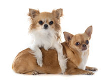 Two chihuahuas Stock Photography