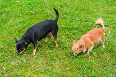 Two chihuahuas on the lawn Royalty Free Stock Photography