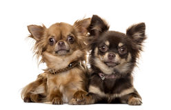 Two chihuahuas lying Stock Image