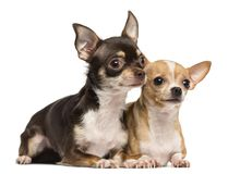 Two Chihuahuas lying next to ecah other, isolated. On white royalty free stock photography