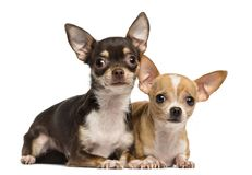 Two Chihuahuas lying next to ecah other, isolated. On white stock images