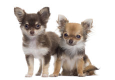 Two Chihuahuas next to each other, isolated Stock Image