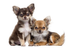 Two Chihuahuas next to each other, isolated Stock Photos