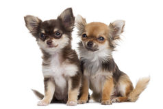 Two Chihuahuas next to each other, isolated Stock Photography