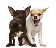 Two Chihuahuas, one is yawning and the other has is eyes closed Royalty Free Stock Photos