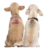 Two Chihuahuas with Playboy bunny on backs Royalty Free Stock Image