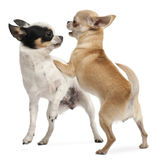 Two Chihuahuas playing Royalty Free Stock Photos