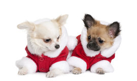 Two Chihuahuas in Santa coats, 7 months old stock images