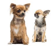 Two Chihuahuas sitting Royalty Free Stock Photo