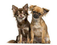 Two Chihuahuas sitting Stock Images