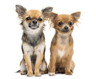 Two Chihuahuas sitting and looking at camera Royalty Free Stock Images
