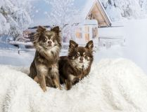 Chihuahuas sitting in winter scene. Two Chihuahuas sitting in winter scene Royalty Free Stock Photography