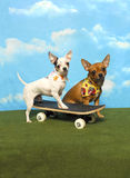 Two Chihuahuas and a Skateboard Royalty Free Stock Images