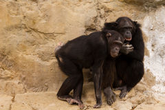 Two Chimpanzee. Two black Chimpanzee at thier stone home Stock Photography