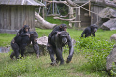 Two chimpanzee mothers (Pan troglodytes) Stock Photo