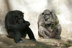 Two Chimpanzees At Zoo Royalty Free Stock Image