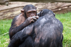 Two Chimpanzees grooming each other Stock Photo