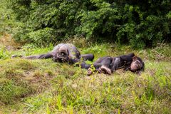Two chimpanzees lie in the meadow Royalty Free Stock Photos