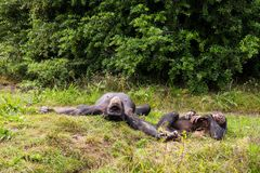 Two chimpanzees lie in the meadow Stock Photography
