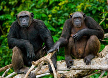 Two Chimpanzees on mangrove branches. Republic of the Congo. Conkouati-Douli Reserve. Royalty Free Stock Photo