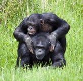 Two Chimpanzees playing Royalty Free Stock Photo