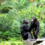 Two Chimpanzees. Scene of two Chimpanzees interacting with each other and having fun time Stock Photo