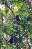 Two chimpanzees sitting relaxed in lush green tree resting, Sierra Leone, Africa stock photo