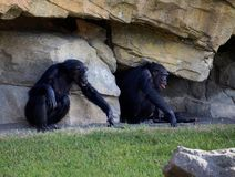 Two chimpanzees sitting on a rock background stock image