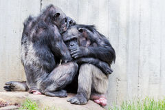 Two chimps Stock Photography