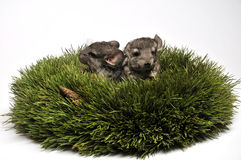 Two chinchilla in advent wreath Royalty Free Stock Photography