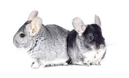 Two chinchillas Stock Images