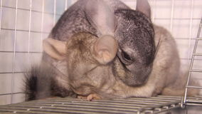 Two chinchillas. Close-up view of two gray chinchillas stock footage