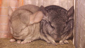 Two chinchillas. Close-up view of two gray chinchillas stock video footage