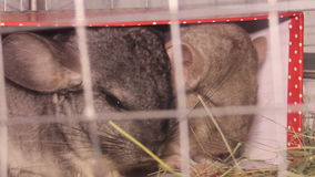 Two chinchillas. Close-up view of two gray chinchillas stock video
