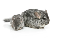 Two chinchillas isolated over white background Stock Photo