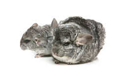 Two chinchillas isolated over white background Royalty Free Stock Photography