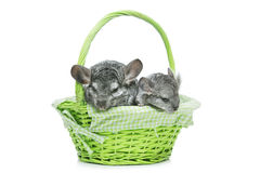 Two chinchillas isolated over white background Stock Photos