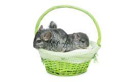 Two chinchillas isolated over white background Royalty Free Stock Photo