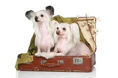 Two Chinese Crested Dogs sits in old suitcase Stock Photography