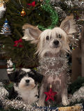 Two Chinese Crested,Powder-puff Puppies
