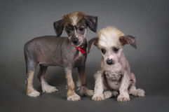 Two Chinese Crested puppies. Stock Photo