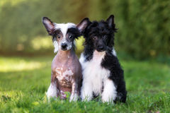 Two chinese crested puppies sitting together. Chinese crested puppies posing outdoors royalty free stock photo