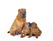 Two Chinese Shar pei puppies with mother portrait. On white background Stock Photography