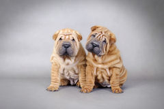 Two Chinese Shar pei puppies portrait Stock Images