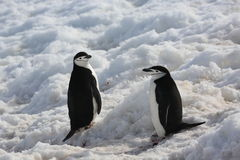 Two Chinstrap penguins in Antarctica. Two Chinstrap penguins (Pygoscelis antarctica) in Antarctica Stock Image