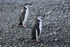 Two Chinstrap penguins in Antarctica. Two Chinstrap penguins (Pygoscelis antarctica) in Antarctica, standing on the beach Stock Photography